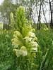 Pedicularis condensata (Iran, Kurdistan, near Choplu 1700m (31)