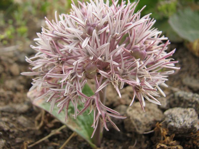 Allium cf. derderianum (Iran, Azarbayjan-e-Gharqi, mountains near border of Orumieh saltlake, 8km S of Ag Gonbad 1410m)(21)