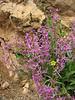 Hesperis persica (Iran, Azarbayjan-e-Gharbi, pass 2300m Ziveh-Kaveh near border Turkey - Iraq)(23)