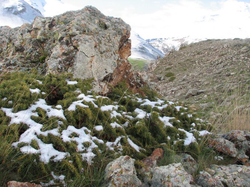 Juniperus communis ssp. nana (Iran, Ardabil, Kuh-e-Sabalan mountains S of Lahrud, 2600m vulcanic (10)