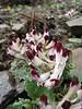 Corydalis verticillaris ssp. verticillaris (Iran, Tehran, Elburz mountains, Dizin pass 3234m (2)