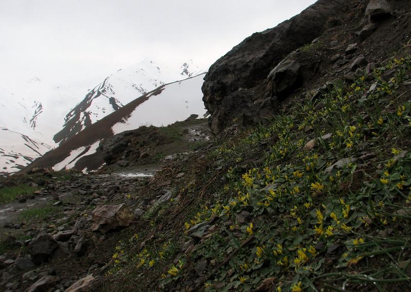 Ranunculus kochii (syn. Ficaria kochii) (Iran, Tehran, Elburz mountains, Dizin pass 3234m (2)