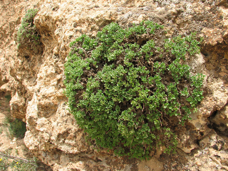 ?? (Iran, Azarbayjan-e-Gharbi, 5km SW of Shahin Dezh 1700-1800m (29)
