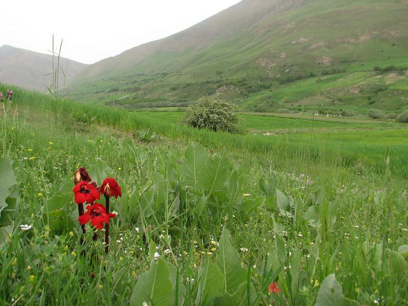 Diphelypaea boissieri (syn. Phelypaea boissieri) parasitic on Centaurea spec.<br /> (Iran, Azarbayjan-e-Gharbi, near Pasveh 1700m, 25 km NE of Piranshahr (25)