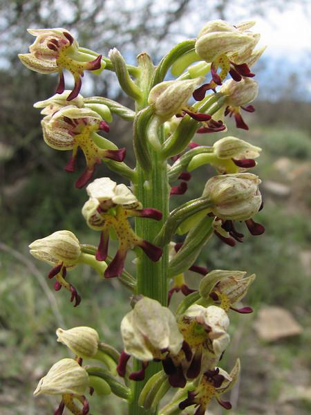 Orchis simia x punctulata (Iran, Azarbayjan-e-Gharqi, mountains NW of Kharvanaq (19)
