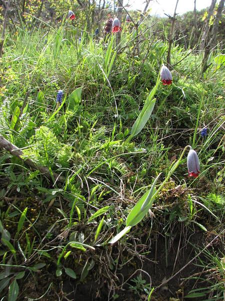 Fritillaria caucasica (long thin stigma)(Iran, Azarbayjan-e-Gharqi, mountains NE of Kalibar 1900m (14)