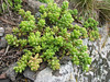 Sedum caespitosum (Iran, Azarbayjan-e-Gharqi, mountains near the Kalan pass 2100m, 30km N of Kalibar (15)