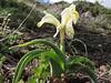Iris pseudocaucasica (Iran, Azarbayjan-e-Gharqi, mountains NE of Kalibar 1900m (14)