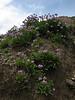 Primula auriculata Iran, Gilan, Elburz mountains, pass, SE of Masuleh 2200m (6)