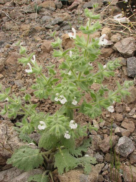 Salvia cf. spinosa (Iran, Azarbayjan-e-Gharqi, mountains near border of Orumieh saltlake, 8km S of Ag Gonbad)(21)