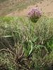 Allium cf. cristophii (Iran, Zanjan, near tin-mine 3km E of Dandi (34)