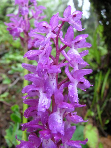 Orchis pinetorum (Iran, Gilan, Elburz mountains, SE of Masuleh (5)