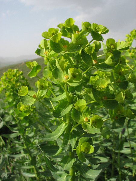 Euphorbia spec. (Iran, Azarbayjan-e-Gharbi, pass 2300m Ziveh-Kaveh near border Turkey - Iraq)(23)