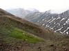 Primula auriculata (Iran, Tehran, Elburz mountains, Dizin pass 3234m (2)