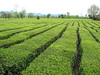 Tea plantages near Rasht to the Caspian see (Iran,Gilan, Elburz mountains)