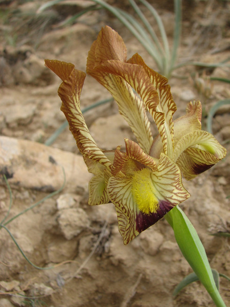 Iris meda (Iran, Zanjan, 3km NE of Sontu (35)
