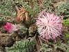 Centaurea ispahanica (Iran, Azarbayjan-e-Gharqi, mountains near border of Orumieh saltlake, 8km S of Ag Gonbad)(21)