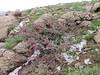 Amygdalus cf. prostrata (Iran, Azarbayjan-e-Gharbi, pass 2600m NE of Qaravo (33)