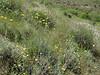 Tripleurospermum disciforme (Iran, Qazvin, Sendan mountains, near Gilan Shah, 10km W of Sefid Rud Reservoir (39)