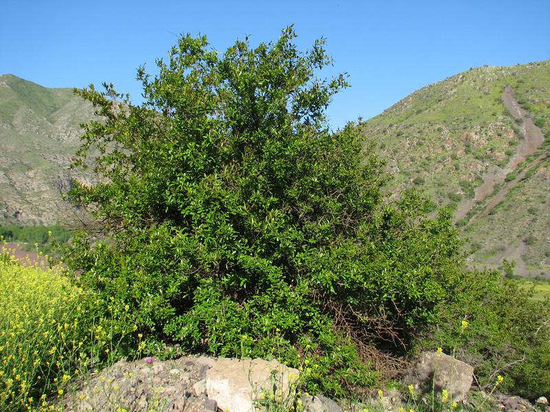 Punica granatum, native to Iran (Iran, Azarbayjan-e-Gharqi, mountains NE of Mardanqayem, border Iran-Armenia (16)