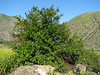 Punica granatum, native to Iran (Iran, Azarbayjan-e-Gharqi, mountains NE of Mardanqayem, border Iran-Armenia (16)