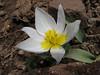 Tulipa polychroma (Iran, Azarbayjan-e-Gharqi, Sahand mountains)(20)