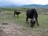 water buffalo (Iran, Azarbayjan-e-Gharqi, mountains E of Ahar, 1400m (12)