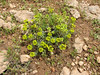 Euphorbia spec. (Iran, Azarbayjan-e-Gharbi, Takht-e-Soleyman 2235m (32)