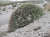Androsace villosa in a shrub of Acantholimon (Iran, Ardabil, Kuh-e-Sabalan mountains S of Lahrud, 2600m vulcanic (10)