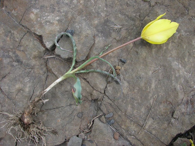bulb of Tulipa montana var. chrysantha (32.2 PG)(only for determination purposes)(Iran, Tehran, Elburz mountains, Fasham pass 2800m (1)