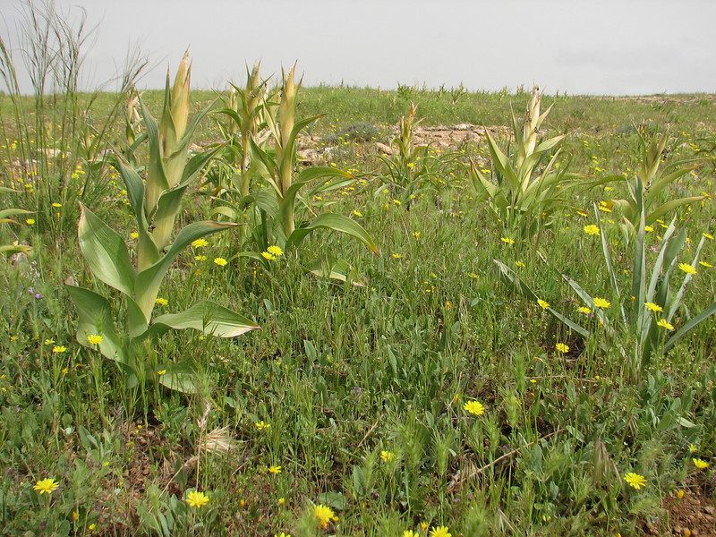 Iris aucheri,  out of flower (Iran, Azarbayjan-e-Gharbi, 15km SW of Shahin Dezh(28)