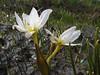 Colchicum szovitsii<br />  (Iran, Azarbayjan-e-Gharqi, Sahand mountains)(20)