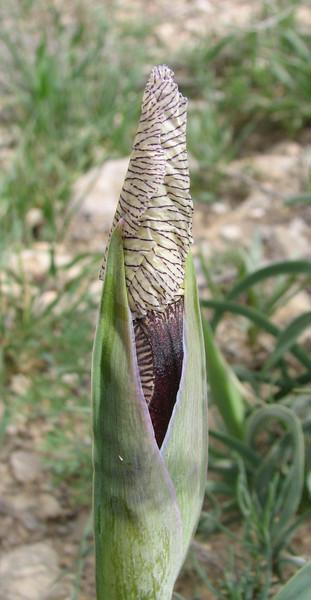 bud of Iris paradoxa forma Choschab (Iran, Azarbayjan-e-Gharqi, mountains 15 km S of Siyah Rud, 1400m (18)