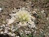 Scabiosa spec. (Iran, Qazvin, Sendan mountains, near Gilavan, W of Sefid Rud Reservoir (40)