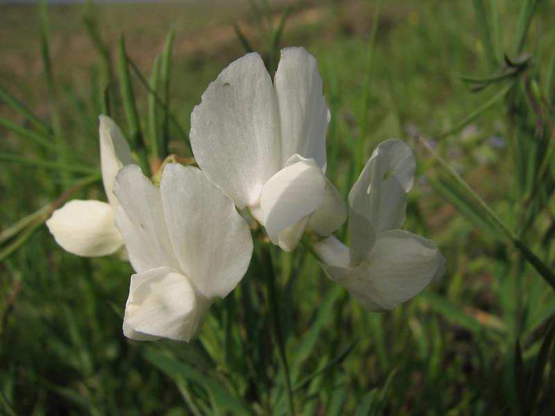Lotus/Lathyrus spec. (Iran, Azarbayjan-e-Gharbi, pass 2300m Ziveh-Kaveh near border Turkey - Iraq)(23)