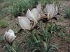 Iris paradoxa forma Choschab (Iran, Ardabil, mountains between Arjaq and Lahrud (9)