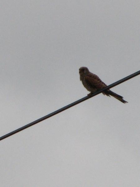 Falco tinnunculus (NL: torenvalk)(Iran, Azarbayjan-e-Gharqi, mountains between Ahar and Meshgin Shahr (11)