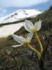 Colchicum szovitsii (Iran, Azarbayjan-e-Gharqi, Sahand mountains)(20)