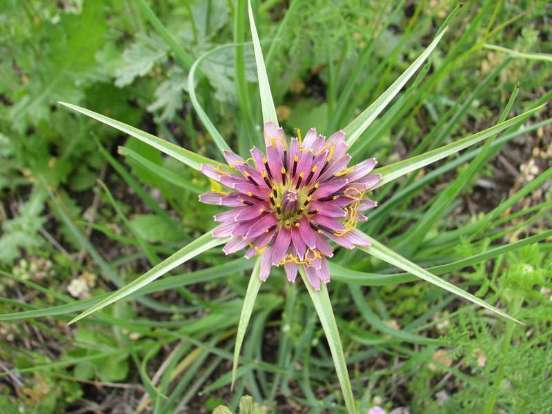 Tragopogon cf. coloratus<br />  spec. (Iran, Ardabil, mountains between Khalkhal and Kivi (8)