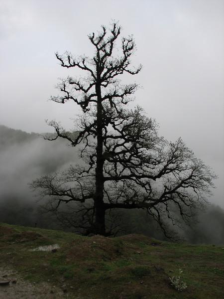 moss covered oak trees, Iran, Gilan, Elburz mountains, pass, SE of Masuleh 2200m (6)