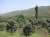 Olea europaea (olive trees) (Iran, Qazvin, Sendan mountains, near Gilan Shah, 10km W of Sefid Rud Reservoir (39)