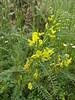 Astragalus caraganae  (Iran, Azarbayjan-e-Gharbi, near Kani Bagh 2600m, 30 km NE of Piranshahr (26)