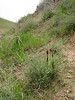 Diphelypaea boissieri (syn. Phelypaea boissieri) parasitic on Centaurea spec. (Iran, Azarbayjan-e-Gharbi, near Pasveh 1700m, 25 km NE of Piranshahr (25)