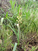 Muscari caucasicum (Iran, Ardabil, mountains between Khalkhal and Kivi (8)