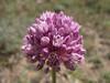Allium cf. rubellum (Iran, Qazvin, Sendan mountains, near Gilavan, W of Sefid Rud Reservoir (40)