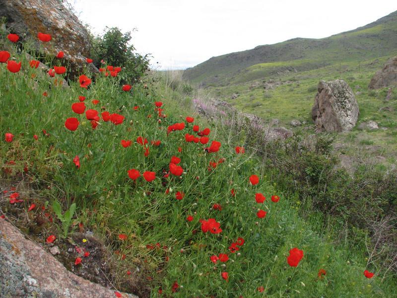 habitat of Papaver spec. (Iran, Ardabil, mountains between Khalkhal and Kivi (8)