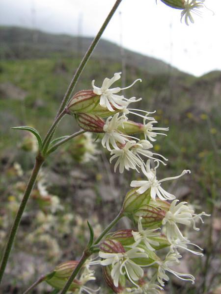 Silene spergulifolia  (Iran, Ardabil, mountains between Khalkhal and Kivi (8)