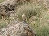 Oenanthe isabellina (NL: isabeltapuit)(Iran, Azarbayjan-e-Gharqi, mountains near border of Orumieh saltlake, 8km S of Ag Gonbad)(21)