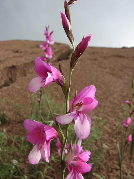 Gladiolus italicus (Iran, Zanjan, near tin-mine 3km E of Dandi (34)