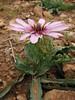 Tragopogon spec. (Iran, Azarbayjan-e-Gharbi, Takht-e-Soleyman 2235m (32)